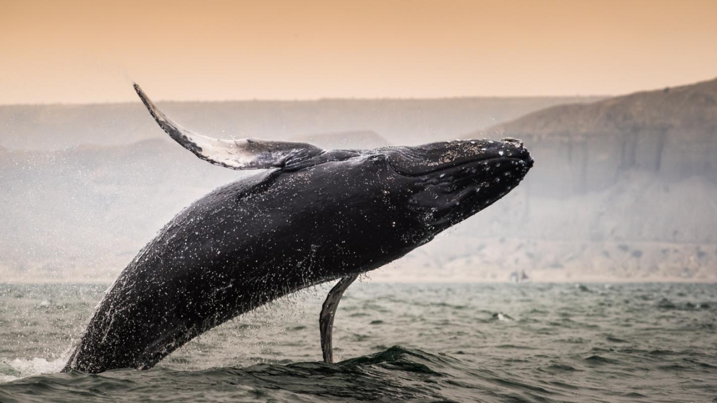 Todo lo que necesitas saber sobre la temporada de avistamiento de Ballenas en Perú | Universidad Científica del Sur